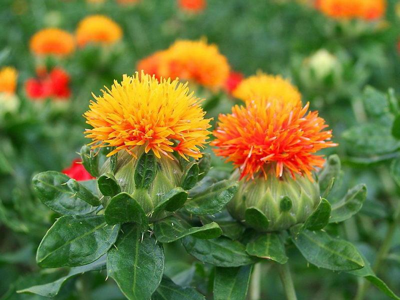 Растение сафлор фото