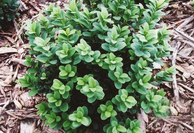 Растение самшит посадка и уход Самшит Карликовый Суфрутикоза фото в саду