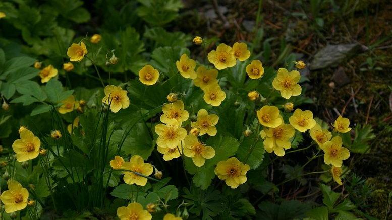 Растение вальдштейния фото цветов в саду