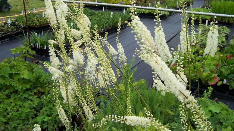 Растение воронец фото цветения в саду
