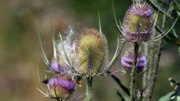 Растение ворсянка фото вида ворсянка посевная
