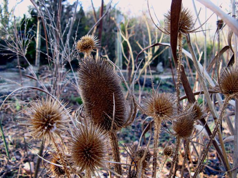 Растение ворсянка ворсовая шишка в ландшафтном дизайне фото