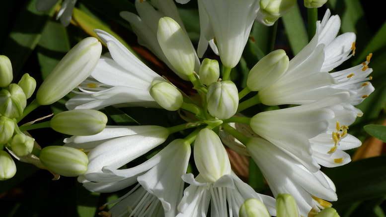 Растения семейства агапантовые фото и описание