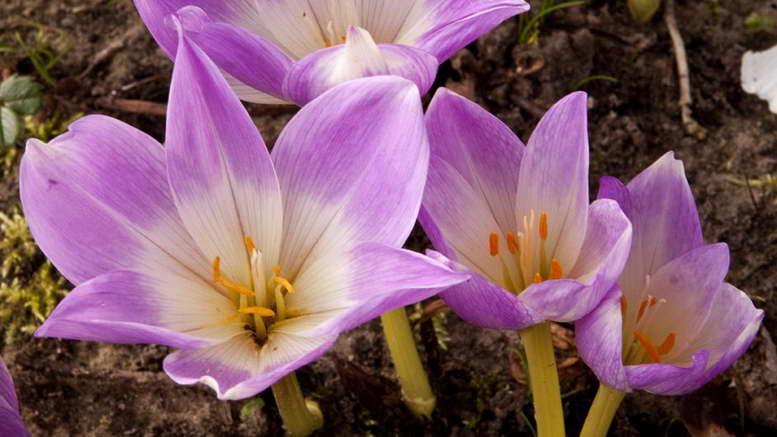 Растения семейства безвременниковые фото и названия