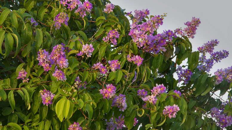 Растения семейства дербенниковые фото и названия
