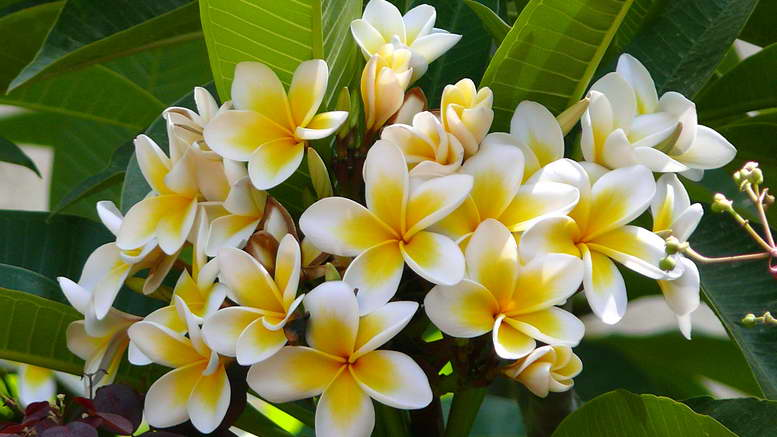 Растения семейства кутровые фото и названия цветов