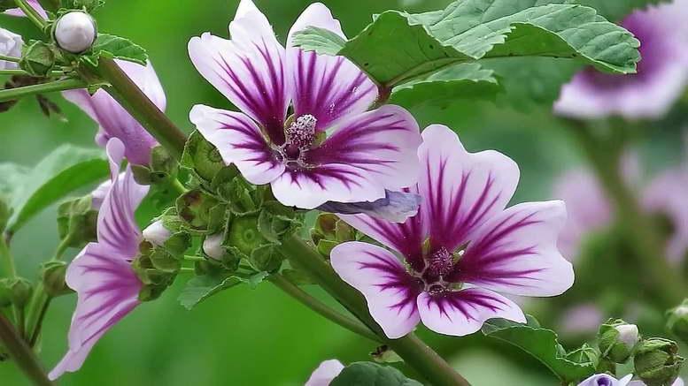 Растения семейства мальвовых на фото мальва лесная Malva sylvestris
