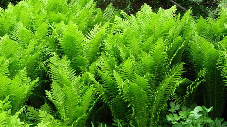 Растения семейства папоротников на фото страусник обыкновенный