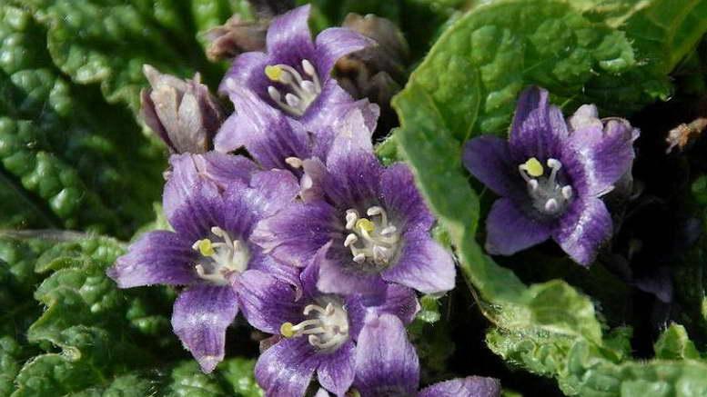Растения семейства пасленовые фото и названия На фото Мандрагора