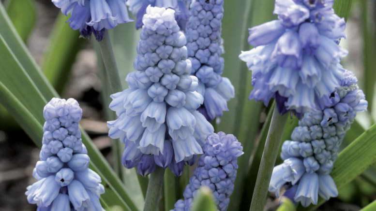 Растения семейства спаржецветные фото