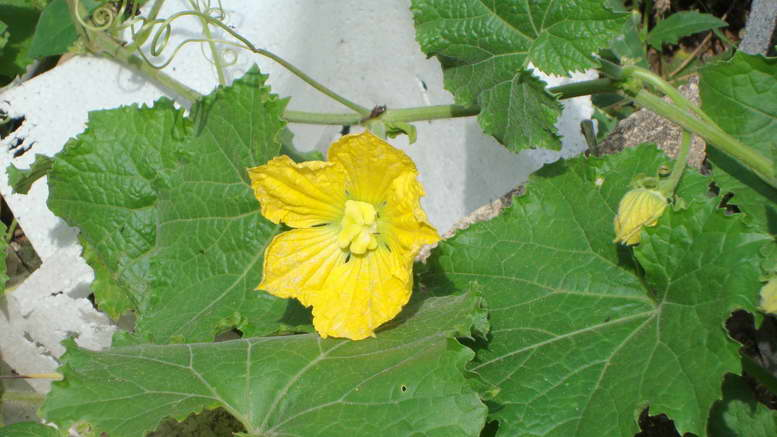 Растения семейства тыквенные представители