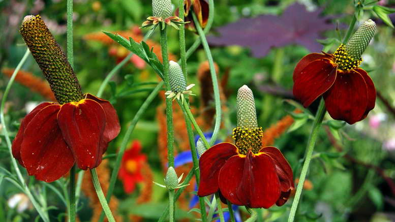 Ратибида колоновидная цветок прерий посадка и уход фото