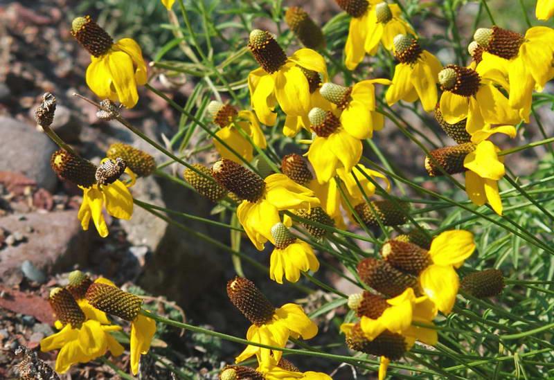 Ратибида сомбреро выращивание из семян фото