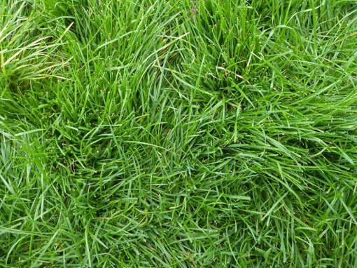Райграс многоукосный многолетний морозостойкость и характеристика газонной травы фото