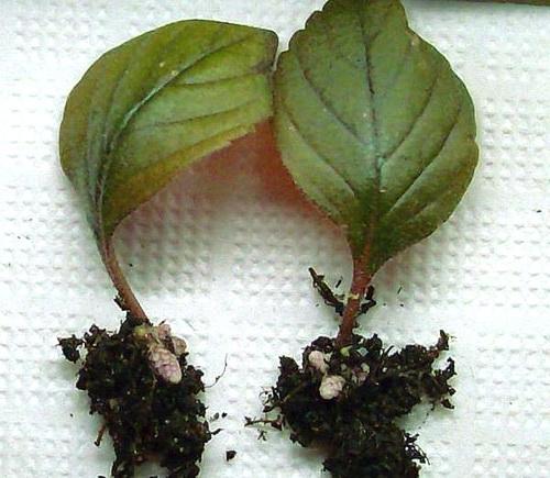Размножение ахименеса листом фото