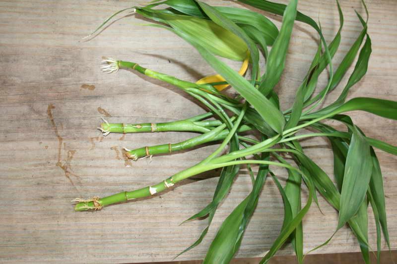 Размножение бамбука в домашних условиях фото черенков