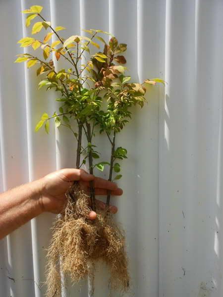 Размножение бересклета корневыми отпрысками фото