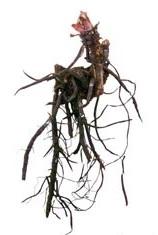 Размножение бруннеры делением корневища