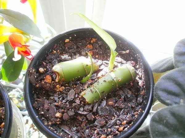 Размножение диффенбахии стеблевыми черенками фото