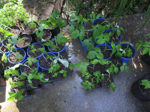 Размножение древовидной малины зелеными черенками фото