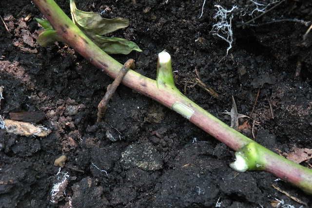 Размножение древовидных пионов отводками фото