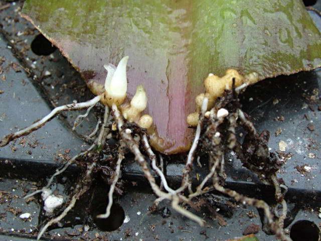 Размножение эукомис листовыми черенками фото луковичек деток