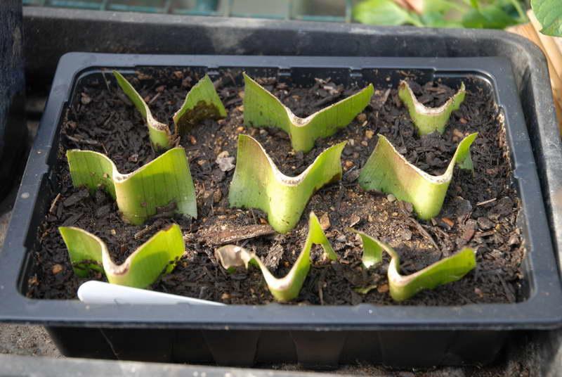 Размножение эукомис листовыми черенками фото