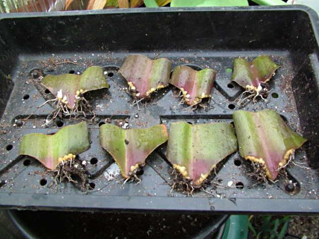Размножение эукомиса листовыми черенками фото