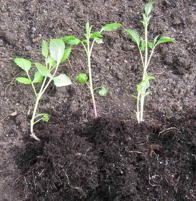 Размножение георгин черенкованием фото как посадить