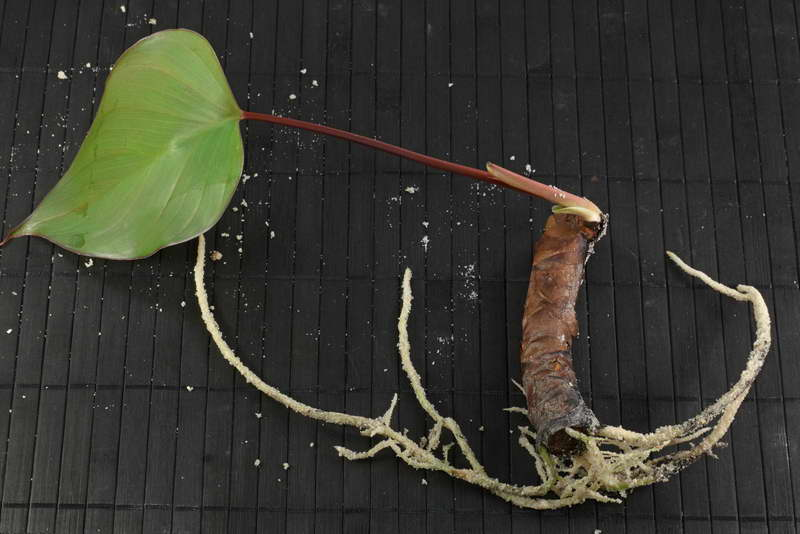 Размножение хомаломены делением корневища фото