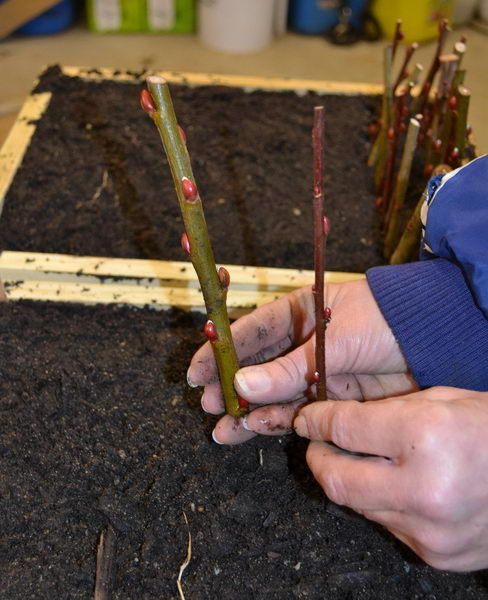 Размножение кольквиции черенками фото