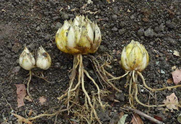 Размножение лилии луковицами детками фото