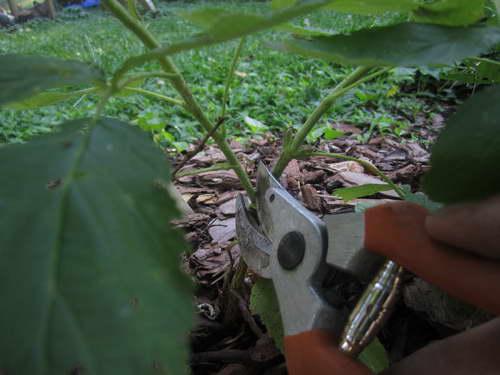 Размножение малины дерево черенками пошаговая инструкция с фото