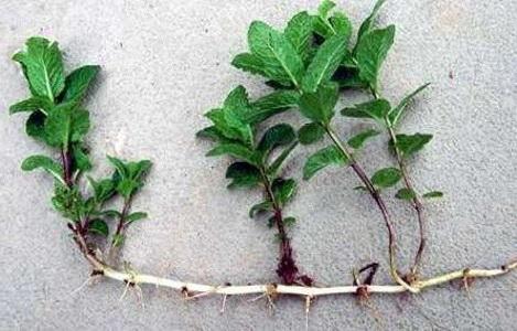Размножение мяты корневыми побегами