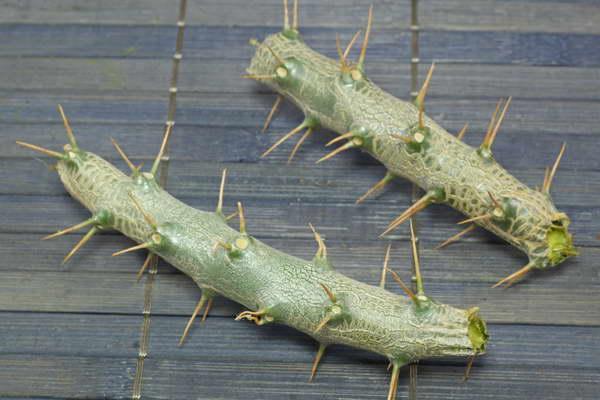 Размножение пахиподиума черенками фото