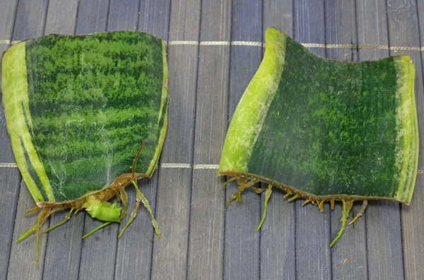 Размножение сансевиерии листовым черенком фото