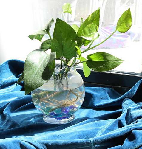 Размножение сингониума черенками укоренение в воде фото