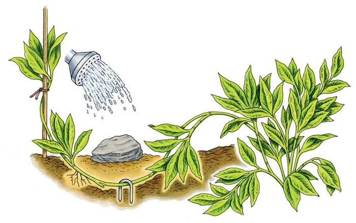 Размножение скумпии кожевенной отводками