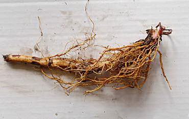 Размножение таволги делением корневища фото