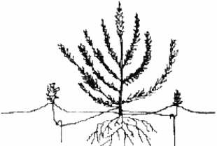 Размножение вереска отводками схема