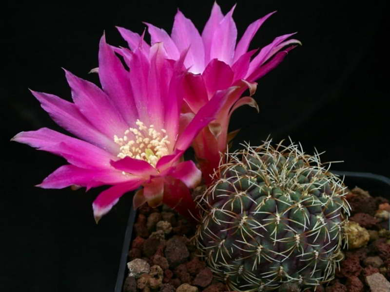 Ребуция прекрасная Rebutia pulchra фото