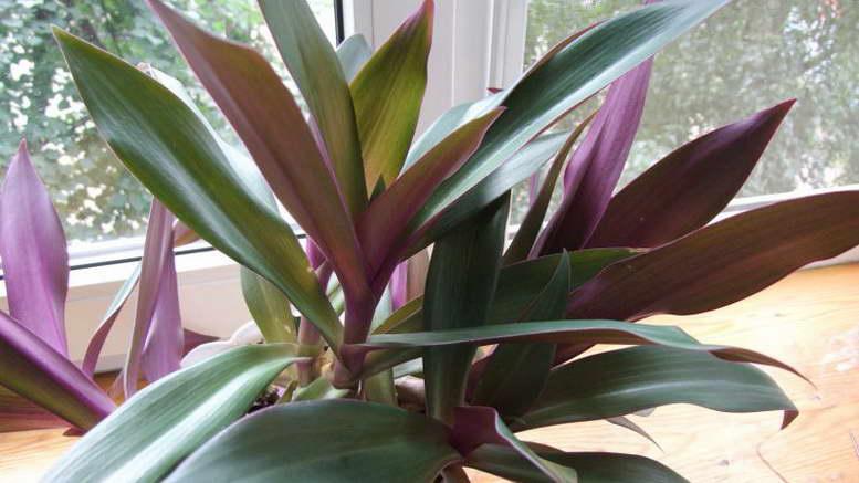 Рео традесканция уход в домашних условиях фото цветов