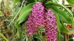 Ринхостилис гигантеа в домашних условиях выращивание и уход фото