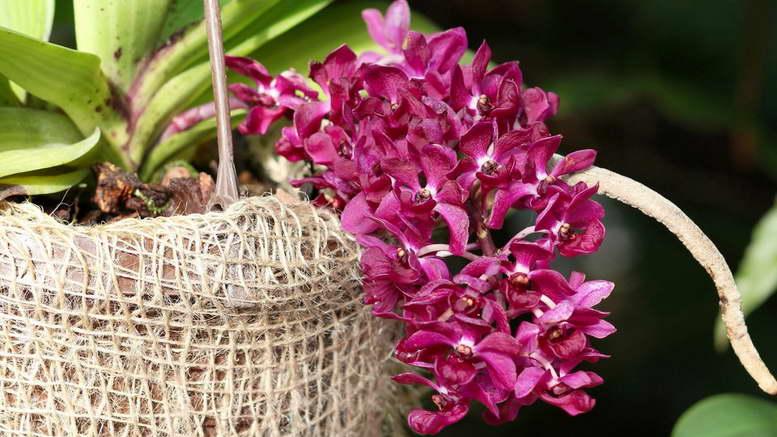 Ринхостилис в домашних условиях выращивание и уход фото