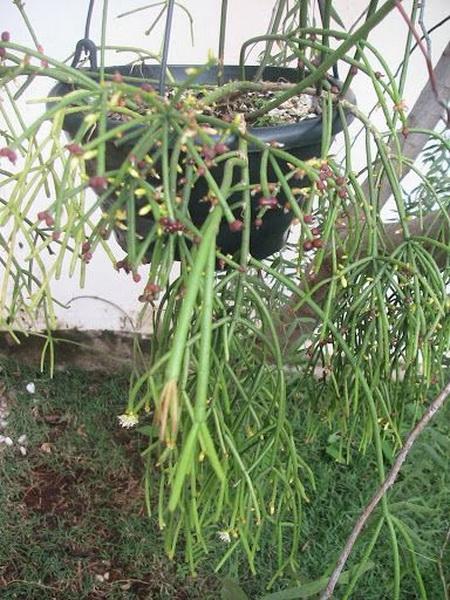Рипсалис Линдберга Rhipsalis lindbergiana