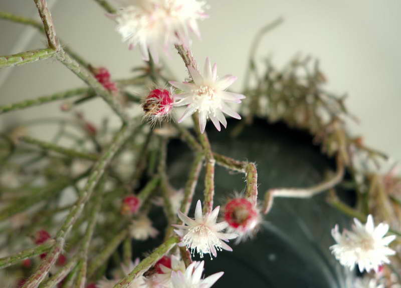 Рипсалис пилокарпа или опушенноплодный Rhipsalis pilocarpa фото