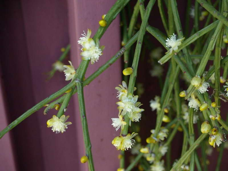 Рипсалис пушистый Rhipsalis floccosa фото
