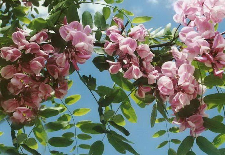 Робиния клейкая Robinia viscosa фото
