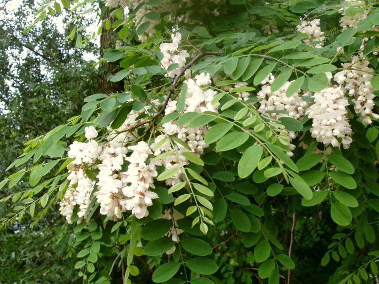 Робиния лжеакация Robinia pseudoacacia фото