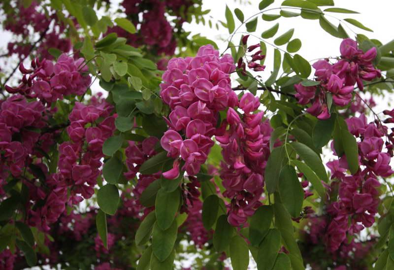 Робиния лжеакация пурпурная Robinia pseudoacacia 'Purple Robe' фото